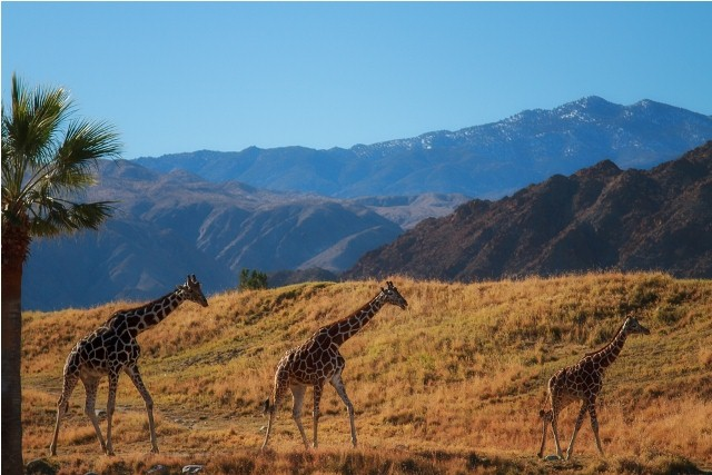 Things to do in Palm Springs living desert zoo
