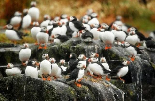 Things to do in Scotland puffins islands
