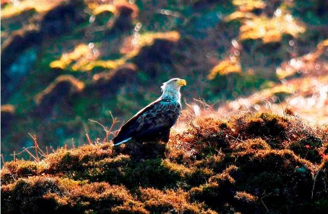 Things to do in Scotland sea eagles
